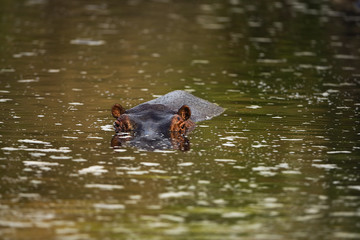 Hippo lurking under murky water