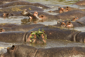 African Hippo Pool