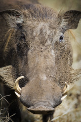 Close up African Warthog