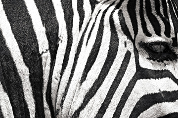 Close up of African Zebra