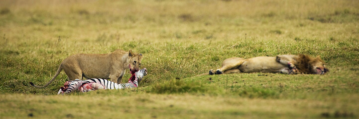 lions eating a zebra in Africa