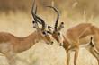 African Impala Fight