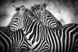 cuddling zebras