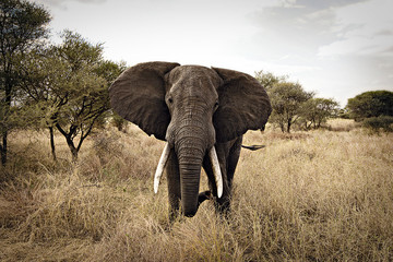 Aggressive African Elephant