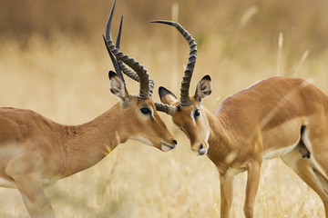 African Impala Fight