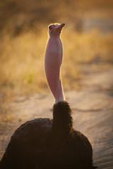 Vocalizing Ostrich