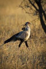 African Secretary Bird