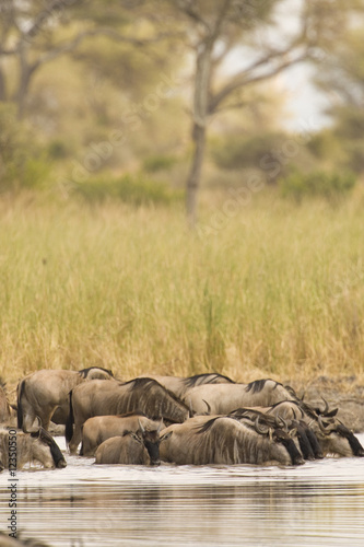 Wildebeest Watering Hole