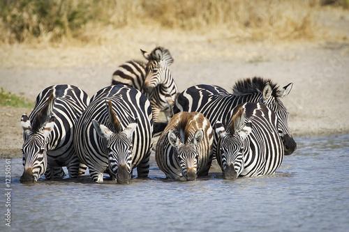 Zebra herd at watering hole in Africa