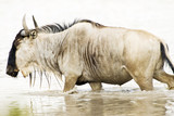 Wet Wildebeest walking in water