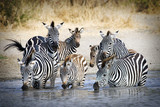 African Zebras at watering hole