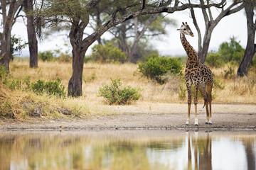 Maasai Giraffe at watering hole in Africa