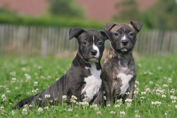 Deux Chiots American staffordshire - tendresse