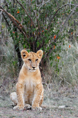 Baby Lioness (Panthera leo).