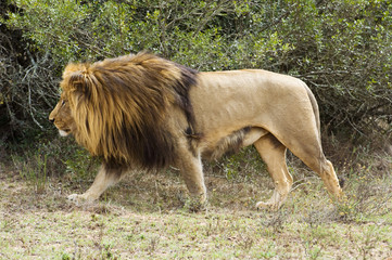 A huge African Male Lion hunts for his next Meal