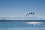 Möwe über dem Starnberger See