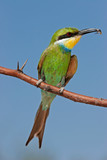 Swallow-tailed bee-eater (Merops hirundineus), South Africa poster