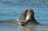 Elephant seal in Peninsula Valdes, Patagonia. poster