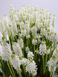 Muscari bothryoides var.alba - close up #2
