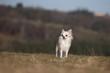 chihuahua de face, de loin,dans décor grandiose