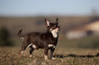 chihuahua marron et blanc à poil ras de profil ; campagne