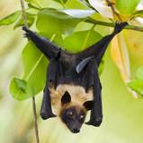 Fruit bat hanging in tree