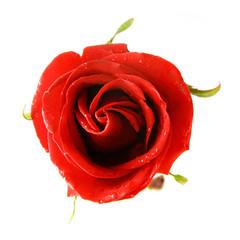red rose over white