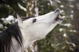 grey stallion in winter poster