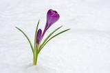 lila Krokus durchbricht den Schnee poster