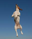 jack russel terrier en plein saut poster