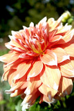 brilliant orange and yellow dahlia flower, blooming. poster
