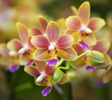 Fototapety Pink Yellow Spotted Orchids Hong Kong Flower Market