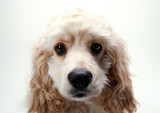 Puppy Cocker Spaniel poster