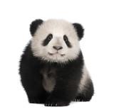 Fototapety Giant Panda (6 months)