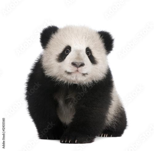 Giant Panda (6 months) - 12435560
