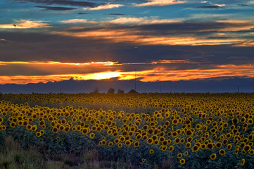 Sunflower field at sunset on Colorado Eastern plains