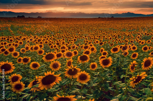 Sunflower Field at sunset with the Colorado Rocky Mountains