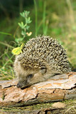Fototapety Hedgehog