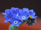 Fototapeta makro - niebieski - Kwiat