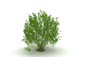tree isolated (bush)