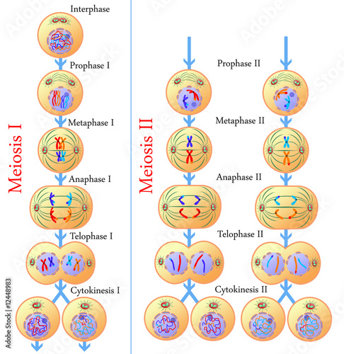 Meiosis of germ cells