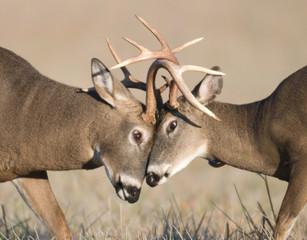 Whitetail deer battling
