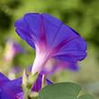 Purpur Prunkwinde, Ipomoea, purpurea,