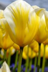 Closeup of yellow tulip flowers