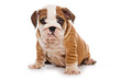 Bulldog puppy on white background