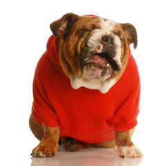 bulldog in sweater making funny face
