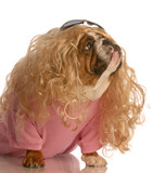 dog dressed in drag - bulldog dressed as beautiful blonde poster