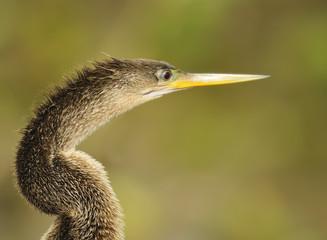 Snake Bird - Anhinga