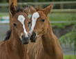 A pair of baby horses