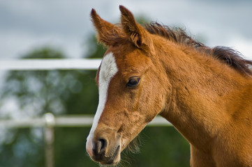 Chestnut colt head shot